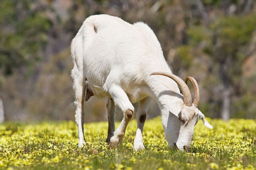 1024px-Domestic_goat_feeding_on_capeweed-1