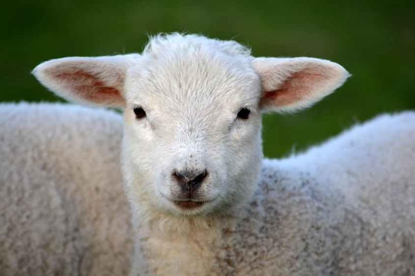 lamb-spring-nature-animal-59821